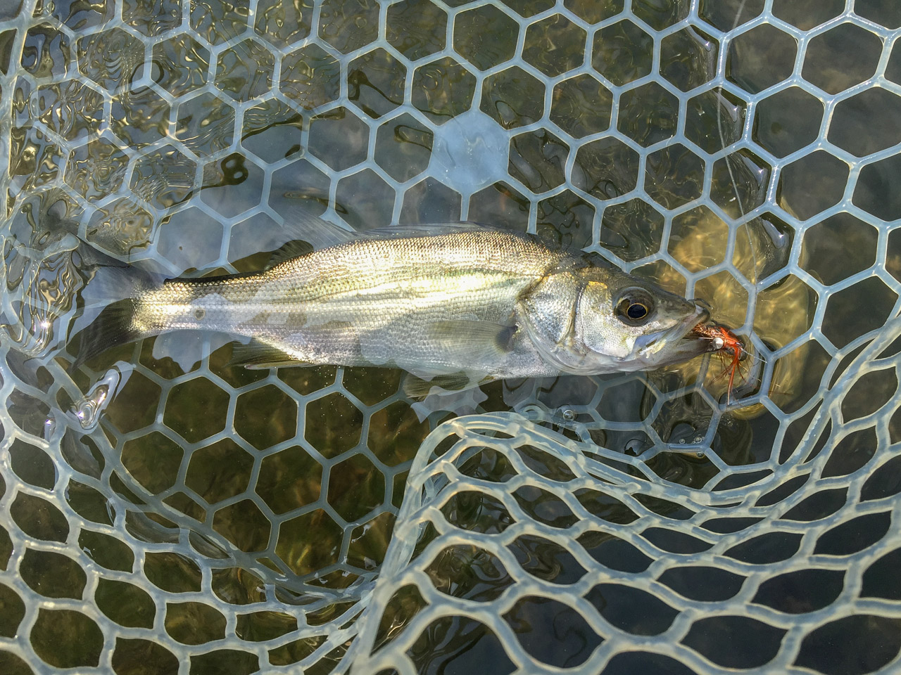 A day for japanese sea bass river tama at chofu sluice for Fly fishing clubs